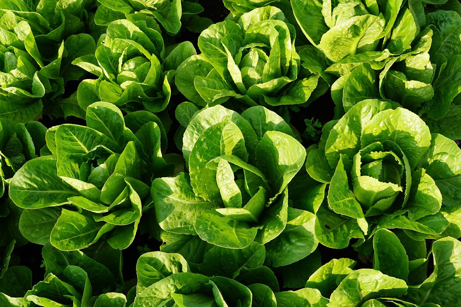 Grünes GEmüse ist gesund. Im Bild: Salat.